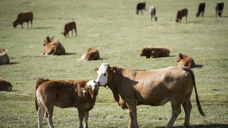 Nidwald: un chien piétiné à mort par un troupeau de vaches mères