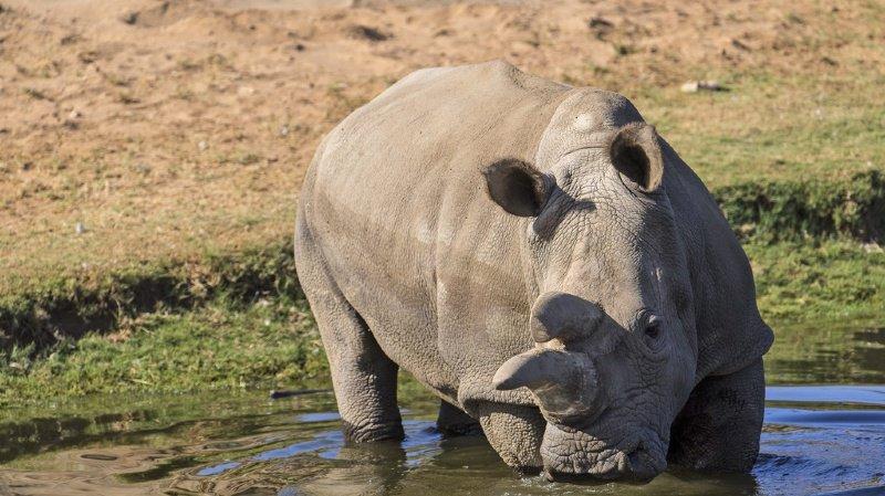 Espèce menacée: naissance d'un rhinocéros blanc par insémination artificielle
