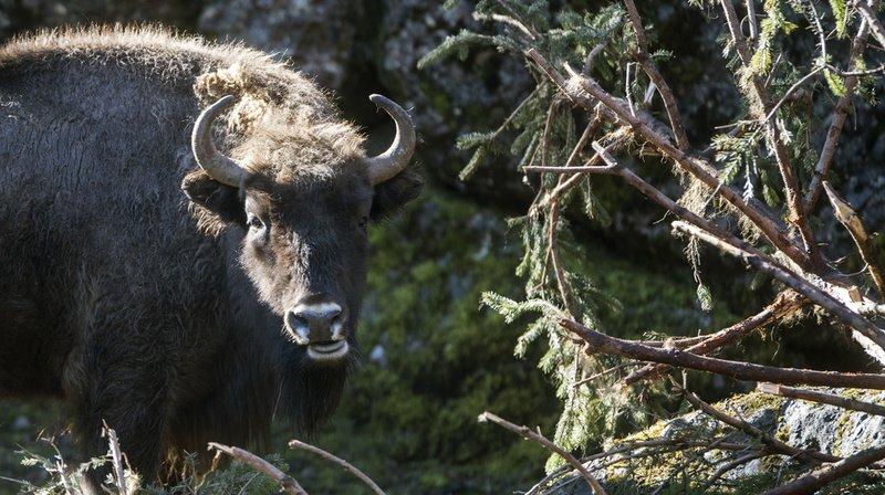 Haute-Savoie: 19 bisons échappés de leur enclos ont été abattus près de Megève