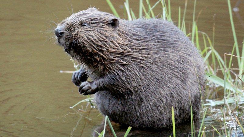 Les castors n'attaquent en général pas les humains. En Suisse, trois morsures seulement ont été déclarées. (Illustration)