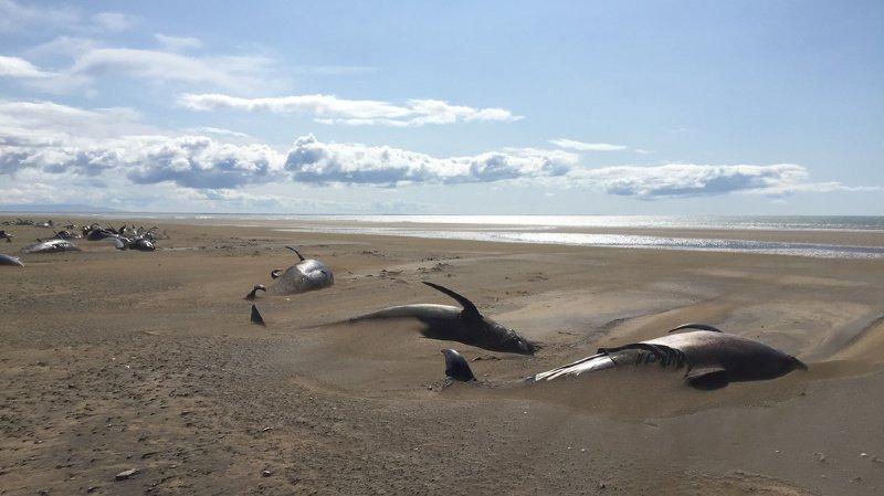 Islande: une cinquantaine de baleines-pilotes s'échouent, une vingtaine d'entre elles sont mortes