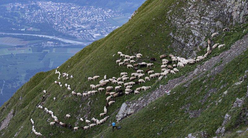Près de 1500 moutons se sont déplacés en troupeau vers de nouveaux pâturages situés au-dessus de la vallée du Rhin, dans les Grisons.