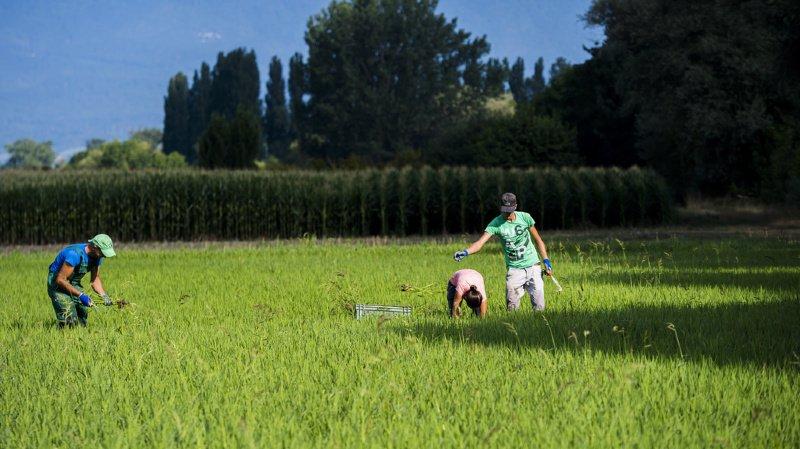 Agriculture: le changement climatique permet de cultiver du riz ou du quinoa en Suisse