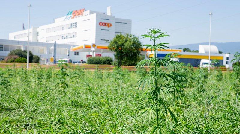 Deux hectares de cannabis entre Signy Centre et Paléo