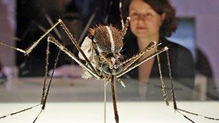 Zurich: le moustique-tigre s'installe en ville, ses œufs survivent à l'hiver suisse