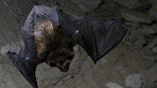 Suisse: la 23e nuit des chauves-souris aura lieu les 23, 24 et 25 août