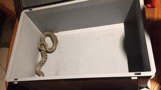 Tolochenaz: un serpent s'invite dans leur garde-manger