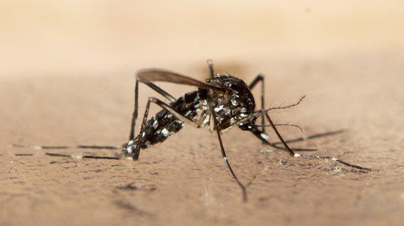 Cette espèce de moustique ne se déplace que dans un rayon de quelques centaines de mètres.