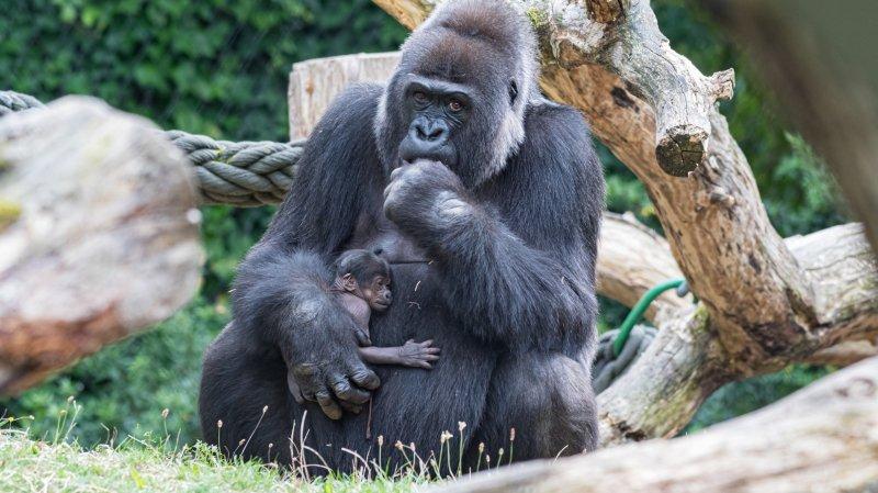 Zoo de Bâle: un petit gorille est né, une première depuis 4 ans