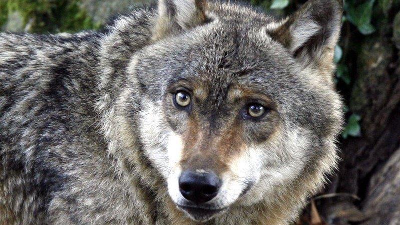 Chablais: le loup tue cinq moutons dans un alpage du Val-d'Illiez