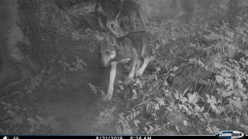Une vidéo confirme la présence d'une meute de loups avec reproduction dans les vallons des communes de Vionnaz et de Vouvry.