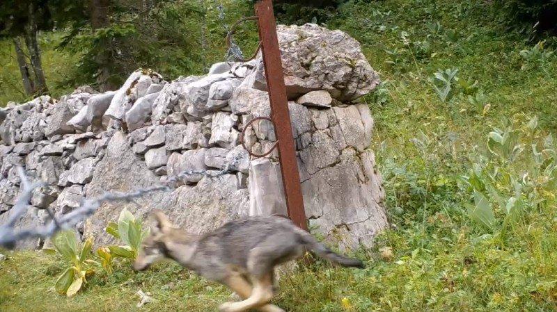 Marchairuz: la naissance de louveteaux confirme la présence d'une meute