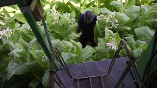 Au coeur des champs de tabac dans la Broye