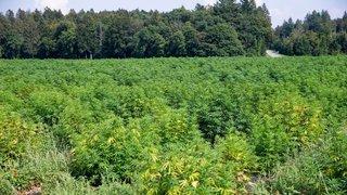 De Chéserex à Gimel, le cannabis débarque en force dans nos champs