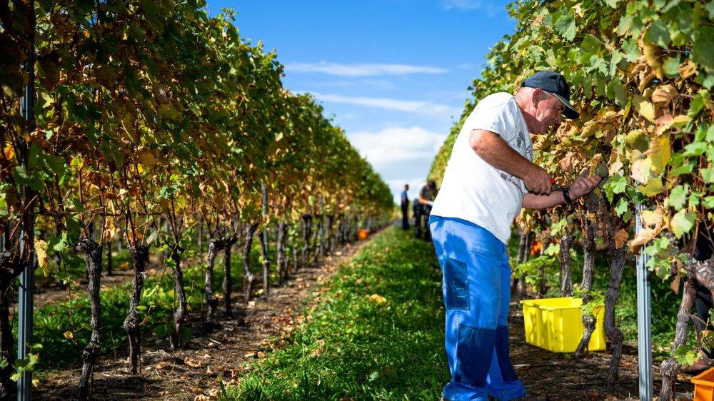 Les vendanges touchent à leur fin dans la région, comme ici au Domaine d'Avenex à Signy-Avenex. La récolte est prometteuse, mais les vignerons sont préoccupés.