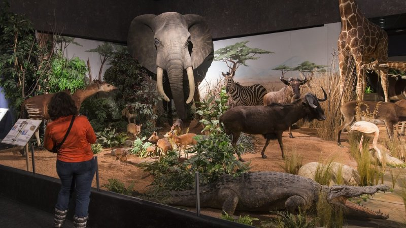 Les animaux mâles sont sur-représentés dans les musées d'histoire naturelle