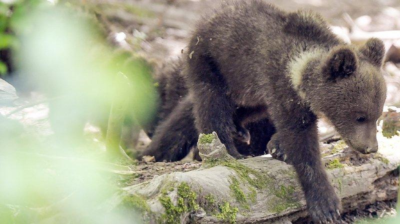 France: Douillous, l'ourson fugueur, a regagné ses montagnes des Pyrénées