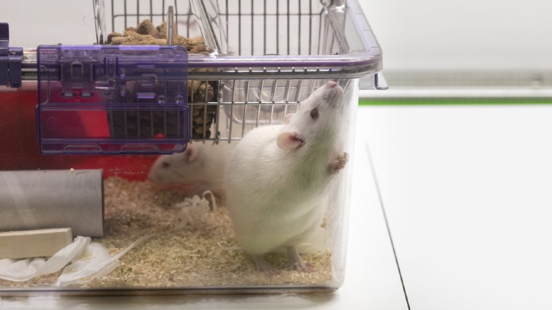 Des chercheurs américains ont appris à des rats à conduire des mini-voitures en échange de céréales