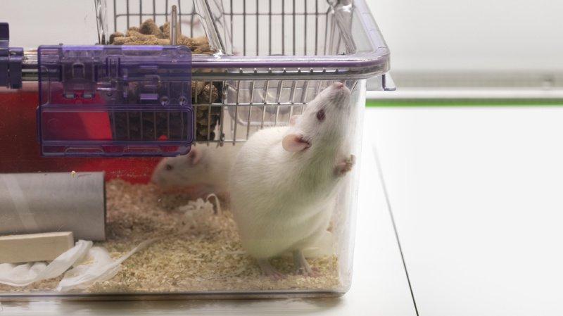 Sciences: les expérimentations animales les plus dures ne seront pas interdites en Suisse