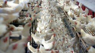 Avec plus de 106'000 signatures valables, l'initiative contre l'élevage intensif a abouti