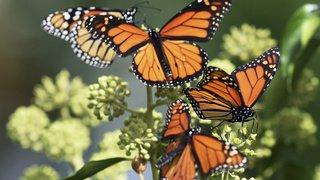 Insectes: les papillons sont apparus 100 millions d'années plus tôt qu'on ne le pensait