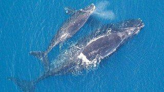 Atlantique nord: les baleines communiquent plus discrètement pour protéger leur progéniture