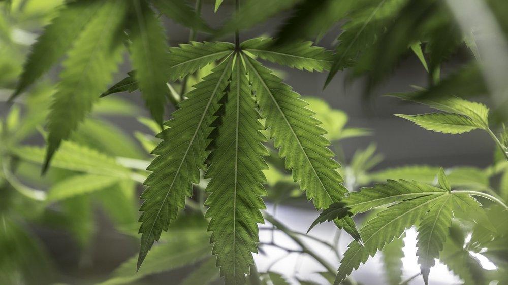 Certains habitants d'Etoy redoutent d'être dérangés par l'odeur pestilentielle qui se dégage de la plante au moment de la floraison.