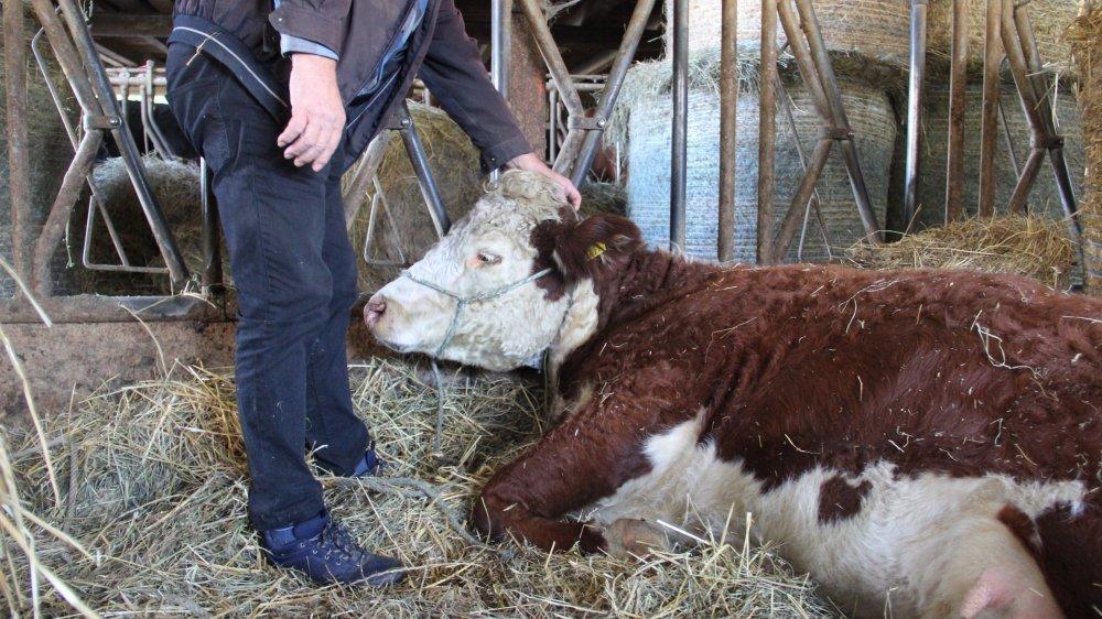 Pierre-Alain Devenoge est aux petits soins pour sa vache convalescente.