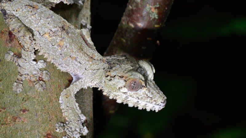 Dans certains pays, les geckos sont considérés comme portent bonheur. (illustration)