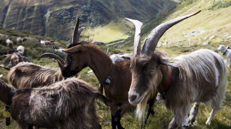 Grisons: un troupeau de chèvres décimé par la paratuberculose dans le Val Poschiavo