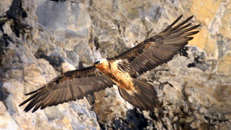 Grisons: un gypaète blessé par un coup de fusil et probablement tué par un aigle royal