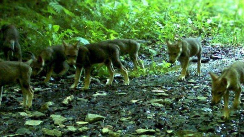 Deux autres jeunes loups de la meute du Piz Beverin (GR) tués