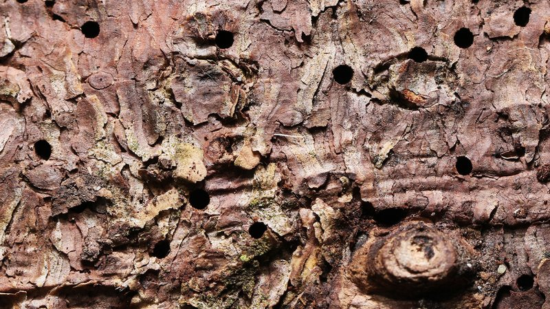 Le scolyte a crée ses orifices d'entrées sur l'écorce d'épicéa.
