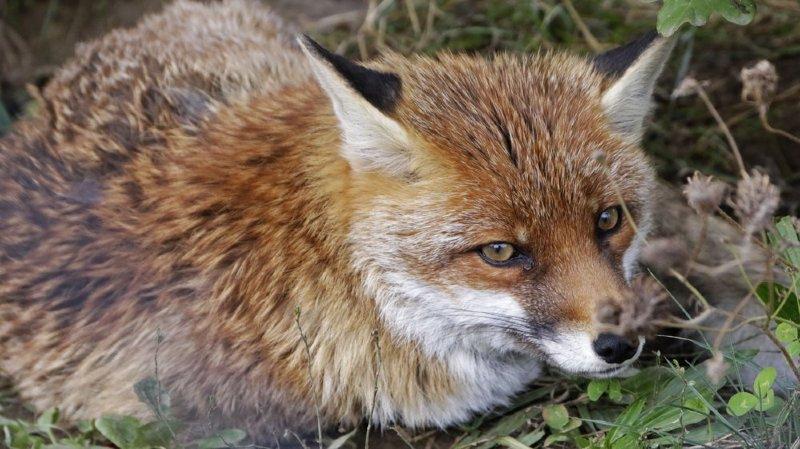 Les renards, quand ils arrivent en ville