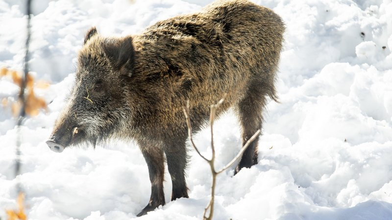 Chasseurs du Pied du Jura unis contre les sangliers