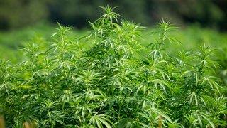 Vaud devrait participer à la distribution contrôlée de cannabis