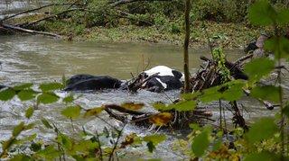 Vufflens-la-Ville: trois vaches meurent dans la Venoge