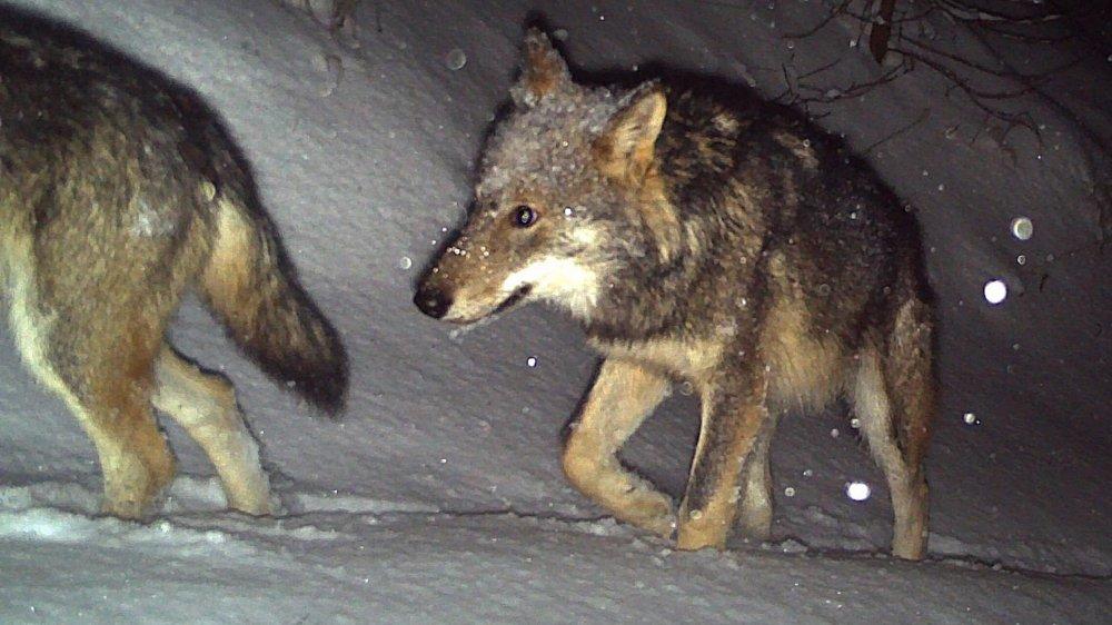 Le rail et la route tuent deux loups