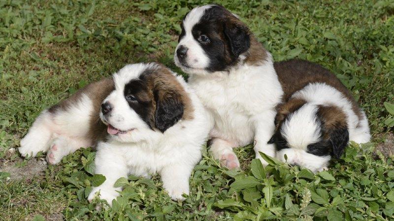 L'équipe de chercheurs a mené une expérience sur 70 chiens domestiques de différentes races (illustration).