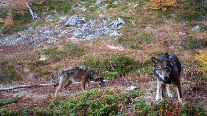 En l'espace d'une année, la population de loups a augmenté en Suisse