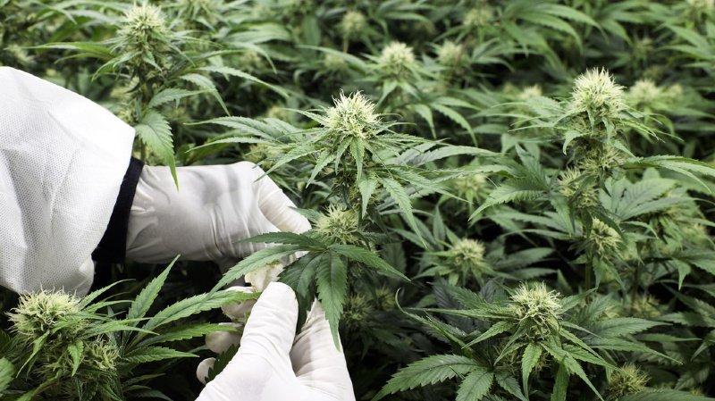 Le National soutient les essais pilotes de distribution de cannabis