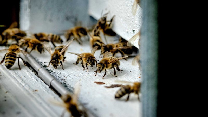 Concernant la Suisse, le rapport relève que plus de la moitié des près de 600 espèces d'abeilles sauvages sont menacées.