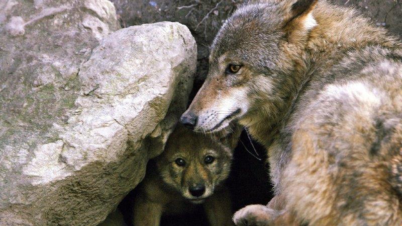 Au total six loups ont péri de cette manière cette année dans le canton.