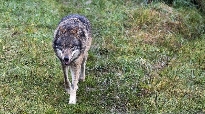 Belgique: un loup vagabond est soupçonné d'avoir mangé un kangourou