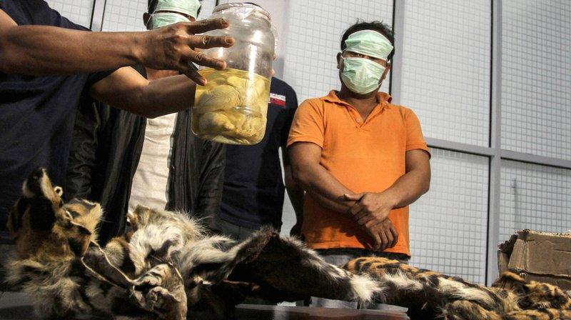 Indonésie: arrêtés avec la peau d'un tigre de Sumatra