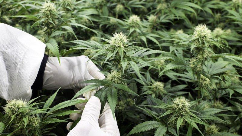 Le cannabis été caché au milieu de salades (ILLUSTRATION).