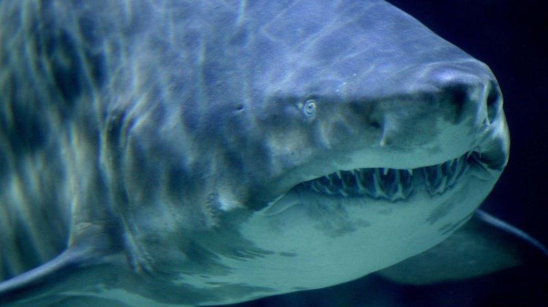 C'est le corps d'un kayakiste disparu depuis une dizaine de jours qui a été retrouvé dans l'estomac du requin-tigre.  (illustration)