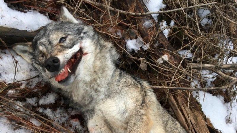 Grisons: une louve a été tuée par un train près de Bonaduz
