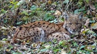 Valais: un lynx affamé prend un chien pour proie