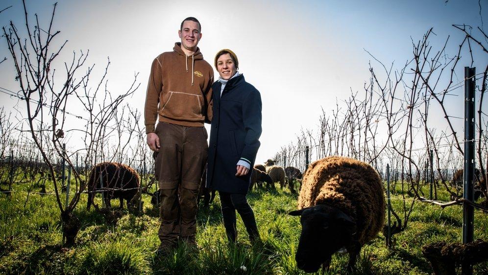 A Echichens, les brebis de Quentin Vuilleumier travaillent d'octobre à fin mars dans les vignes de Catherine Cruchon, œnologue.